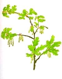dub-oak-BACHOVKY-BIORET