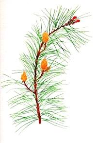 skotska-sosna-pine-BACHOVKY-BIORET