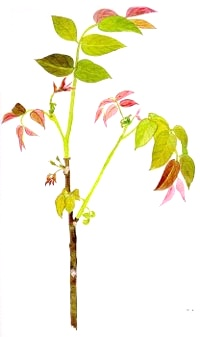 vlassky-orech-walnut-BACHOVKY-BIORET