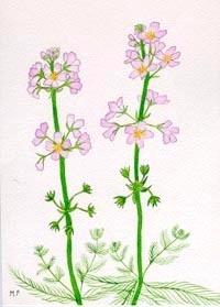 Žebratka bahenní – Water Violet (Bachovky)