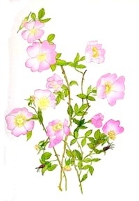Planá růže – Wild Rose (Bachovky)