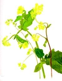 divoka-horcice-mustard-BACHOVKY-BIORET
