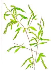 Žlutá vrba – Willow (Bachovky)